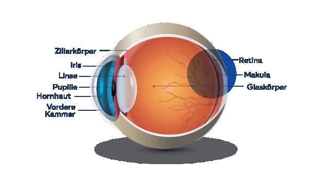 Infografik: Aufbau des Auges